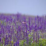 前往富良野欣赏薰衣草—观赏季节与景点信息全攻略!