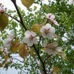 全日本最慢?7月才绽放的樱花—罗臼湖徒步游记