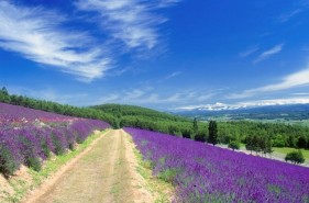 Recommended Season, Spots, and Travel Itinerary to Enjoy the Lavender Fields in Furano