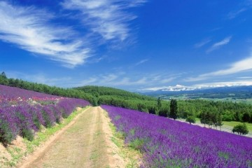 furano lavender photo