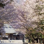 7 great places for cherry blossoms in Sapporo City