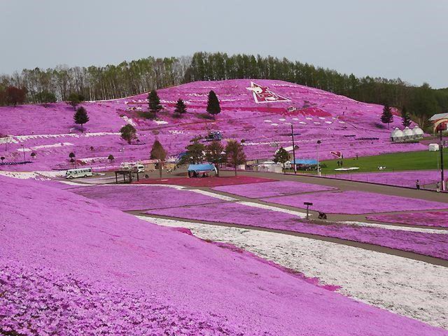 핑크빛 융단에 감동의 물결! 「히가시모코토 시바자쿠라 공원」을 즐기는 법
