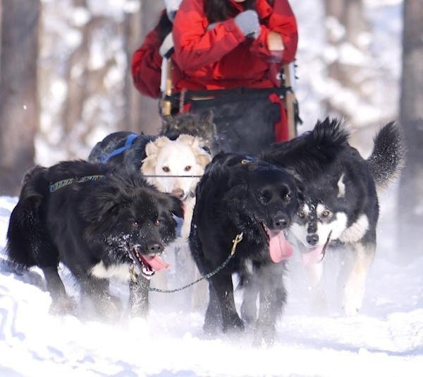 furano-winter-play-dog-sleighs-28_r
