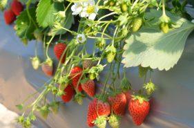 北海道採草莓體驗♪札幌近郊5大草莓園!