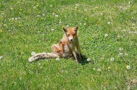 北狐牧場|可以遇上飼養的北狐–温根湯温泉的觀光景點♪