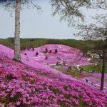 被粉紅色花毯感動!「東藻琴芝櫻公園」玩樂攻略