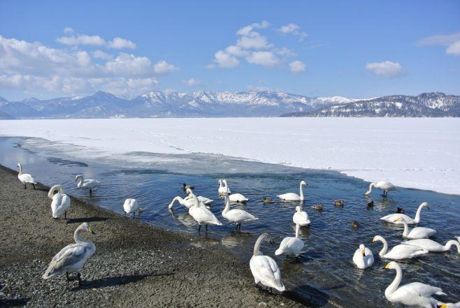 屈斜路湖の砂湯と飛来した白鳥