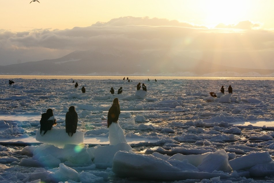 朝焼けに照らされる流氷とオオワシ