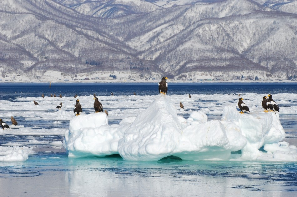 羅臼の流氷とオオワシ