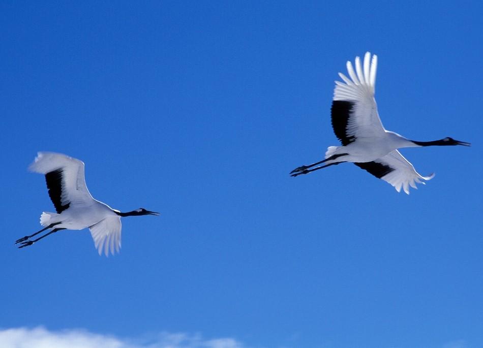 青空に大きく翼を広げるタンチョウ