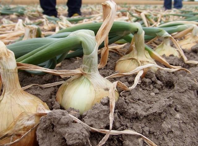 kitami-onion-image1