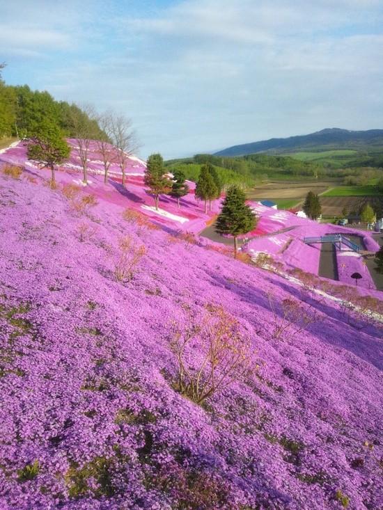 spring-shibazakura-image2