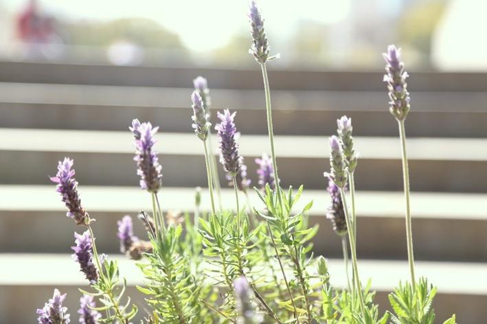 furano-lavender-image06-min