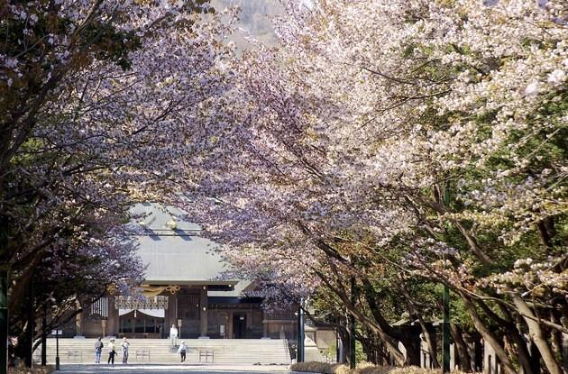 hokkaido-jingu-cherry