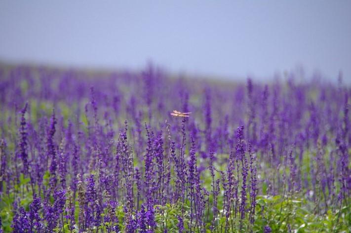 hokuseiyama-lavender-farm-image2