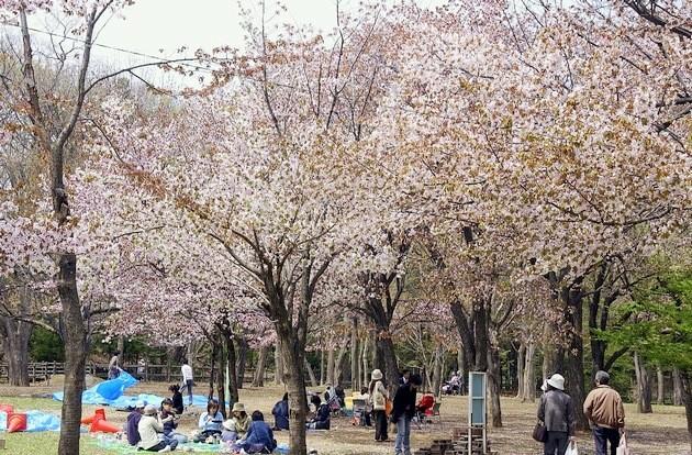 maruyama-cherry-image1