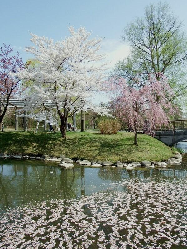 nakajima-park-cherry-2