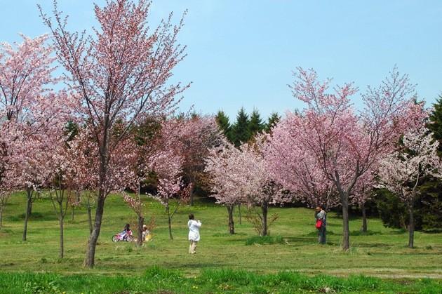 noere-numa-park-cherry1
