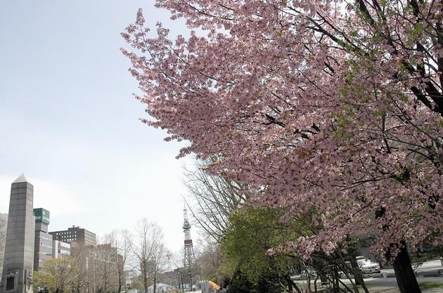 odori-park-cherry1