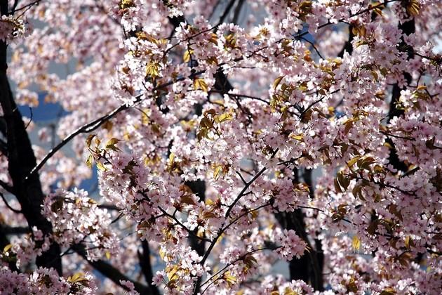 odori-park-cherry2