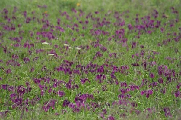 ノハナショウブの花畑