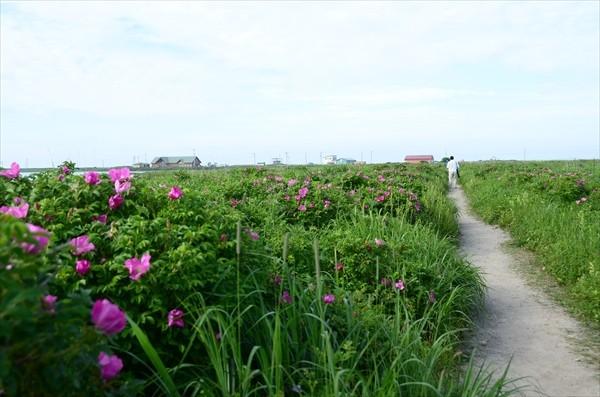 野付半島のハマナス