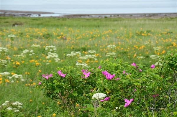 野付半島の花1