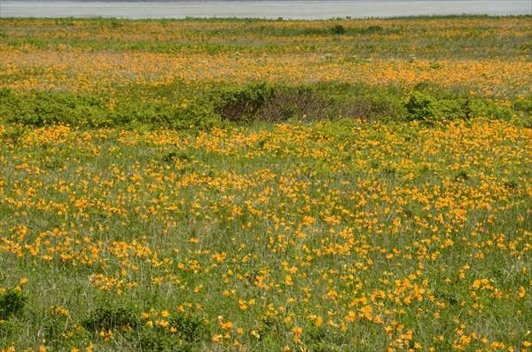 エゾカンゾウの花畑
