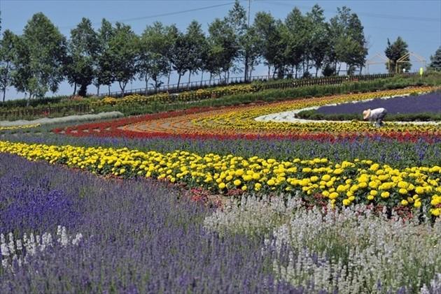 富良野のお花畑