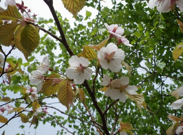 羅臼湖の桜