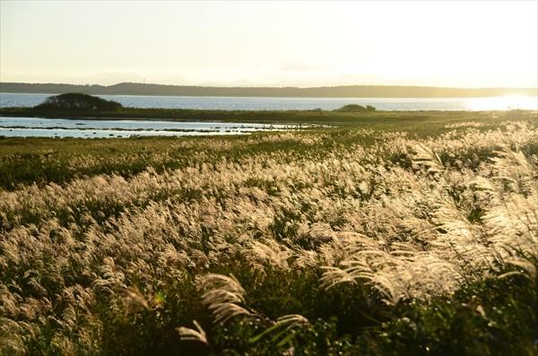 黄金色の野付半島ススキ