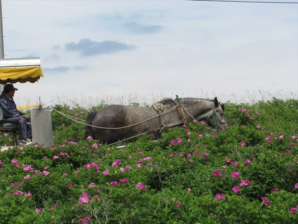 野付半島の馬車