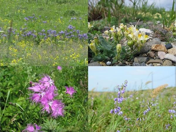野付半島の花々