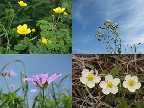 トドワラの花々