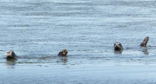 別海のアザラシ