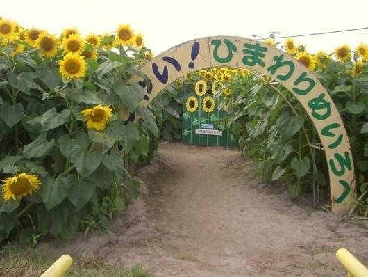 小川農園のひまわり畑