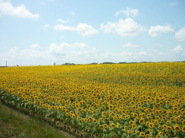 大空町のひまわり畑