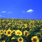シーズン到来!大地が黄色に輝く絶景!北海道のひまわり畑5選