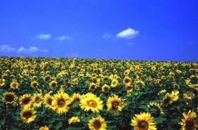 大地が黄色に輝く絶景!北海道のひまわり畑5選