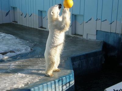 ボール遊びするホッキョクグマ