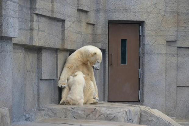 札幌市円山動物園の白熊親子