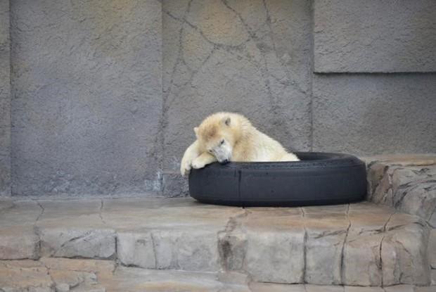 札幌市円山動物園のホッキョクグマの子