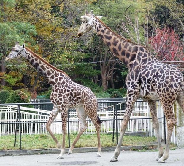 札幌市円山動物園のキリン