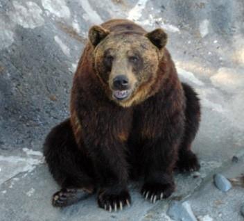 のぼりべつクマ牧場のクマ