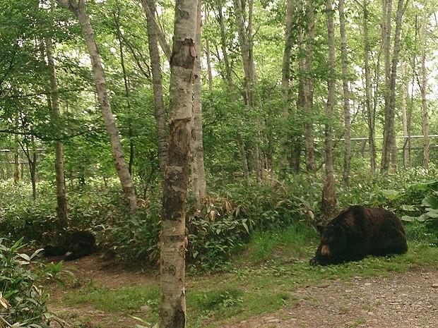 サホロリゾート・ベアマウンテンののんびり過ごすクマ