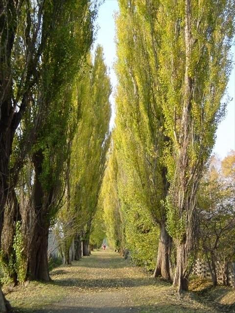 札幌・北大のいちょう並木