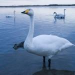 野鳥と自然に癒される♪渡り鳥の聖地、ウトナイ湖の魅力とは