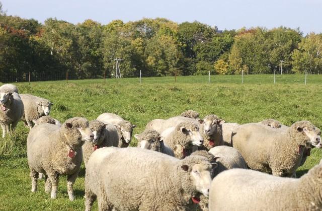 羊ヶ丘公園の羊たち
