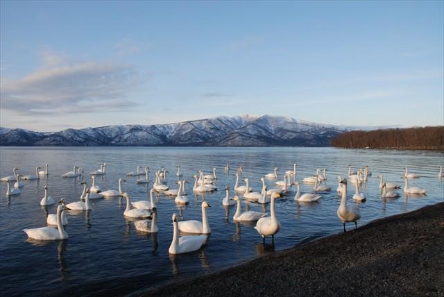 屈斜路湖の白鳥