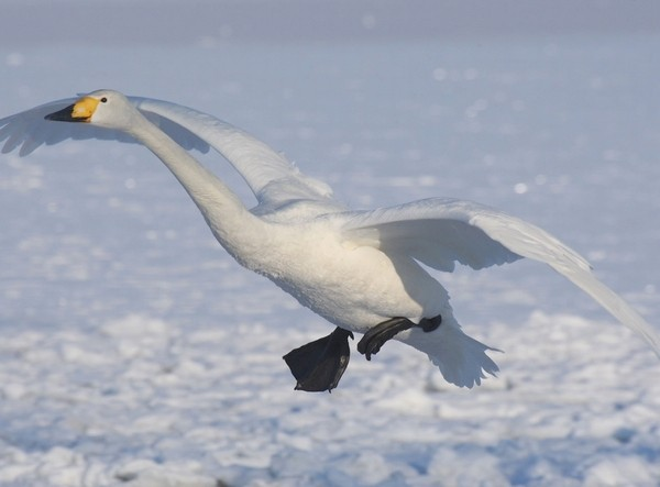 凍る屈斜路湖と白鳥